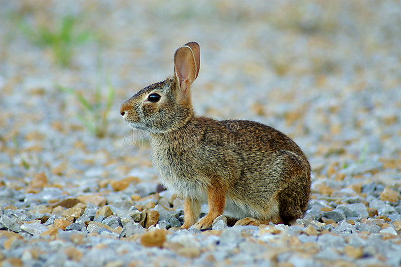 brun kanin royaltyfri foto