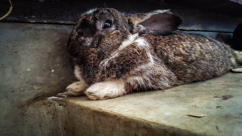 Brun kanin kopplar av på arkivfoton