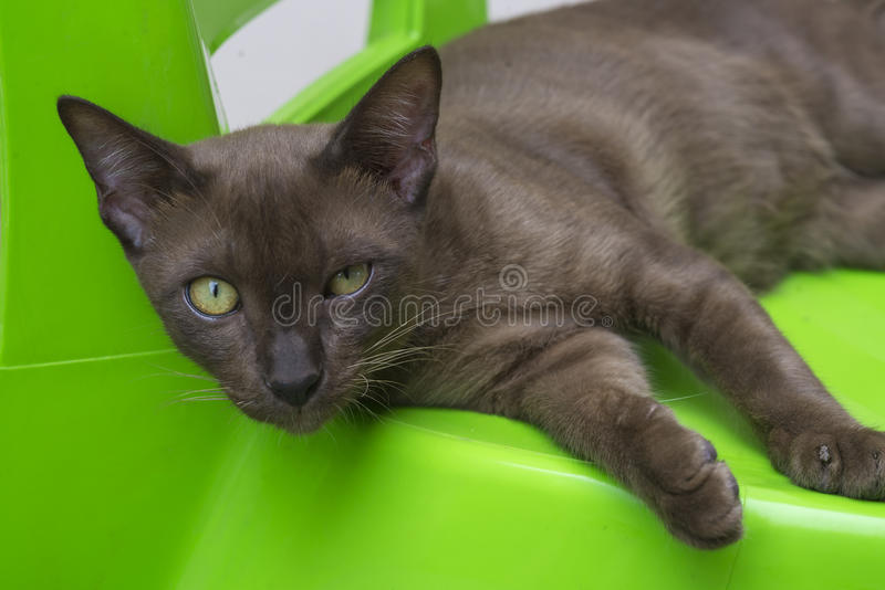 Brun katt på grön stol royaltyfri bild