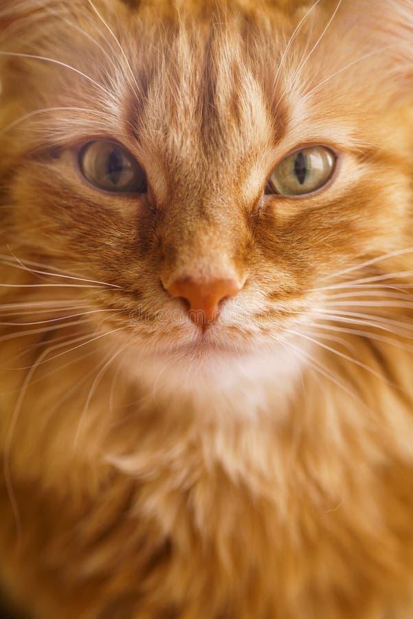 Brun katt, röd manlig katt, Ginger Cat fotografering för bildbyråer