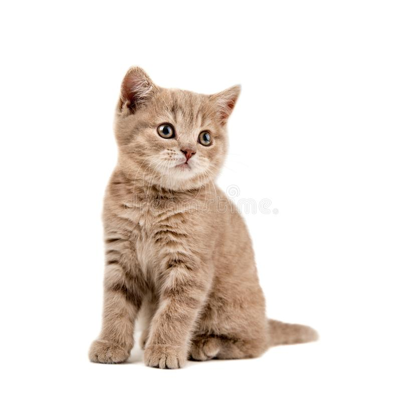 brun kattunge little arkivbild