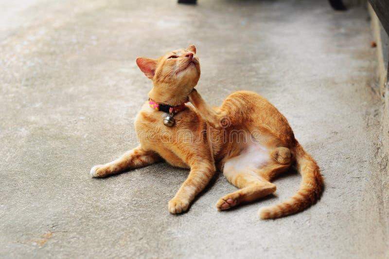 Brun kliande katt royaltyfri foto