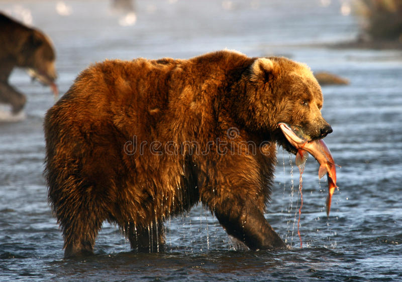 brun kodiak för björn arkivfoto
