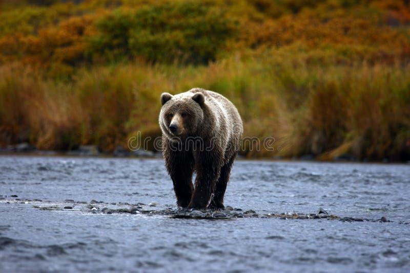 brun kodiak för björn fotografering för bildbyråer