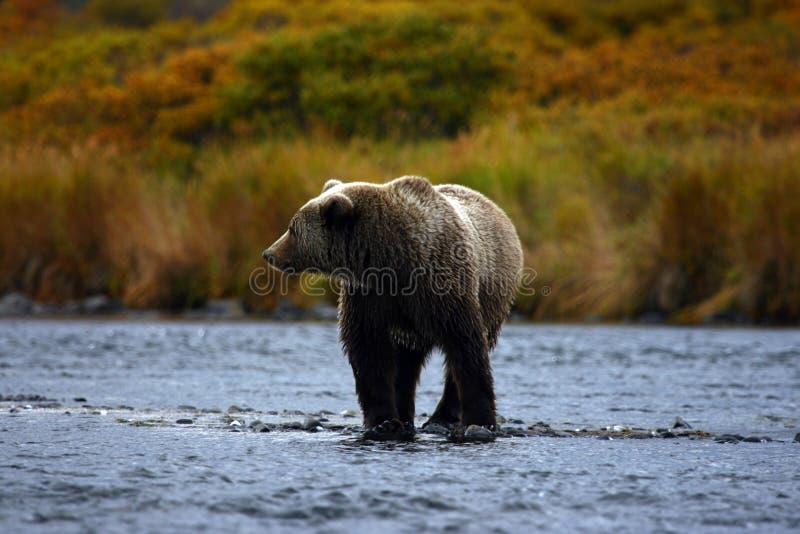 brun kodiak för björn royaltyfri bild