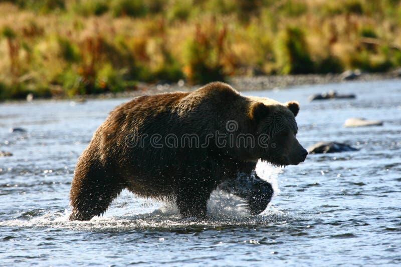 brun kodiak för björn royaltyfria foton