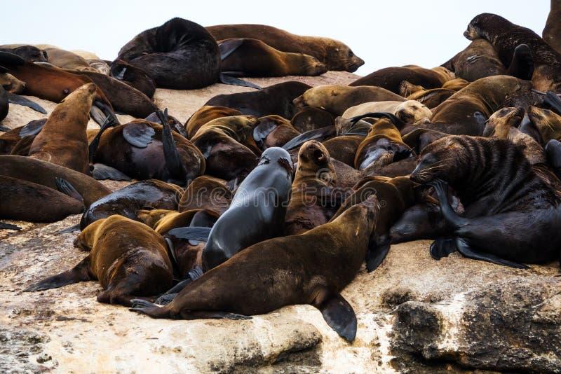 Brun koloni för pusillus för Arctocephalus för pälsskyddsremsa på skyddsremsaön, Sydafrika arkivfoton