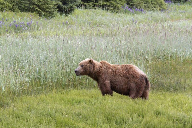 Brun kust- björn med vildblommor i bakgrunden royaltyfria bilder