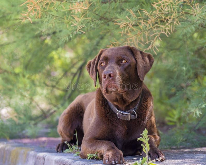 Brun labrador hund som sitter i skuggan på en sommardag arkivbilder