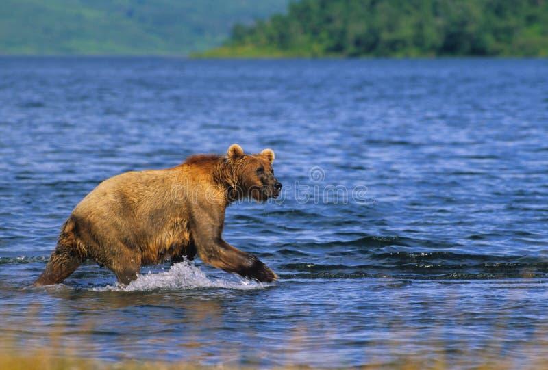 brun lake för björn royaltyfri fotografi