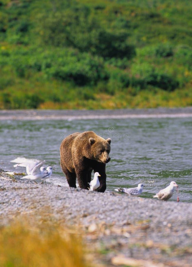 brun lake för björn nära fotografering för bildbyråer