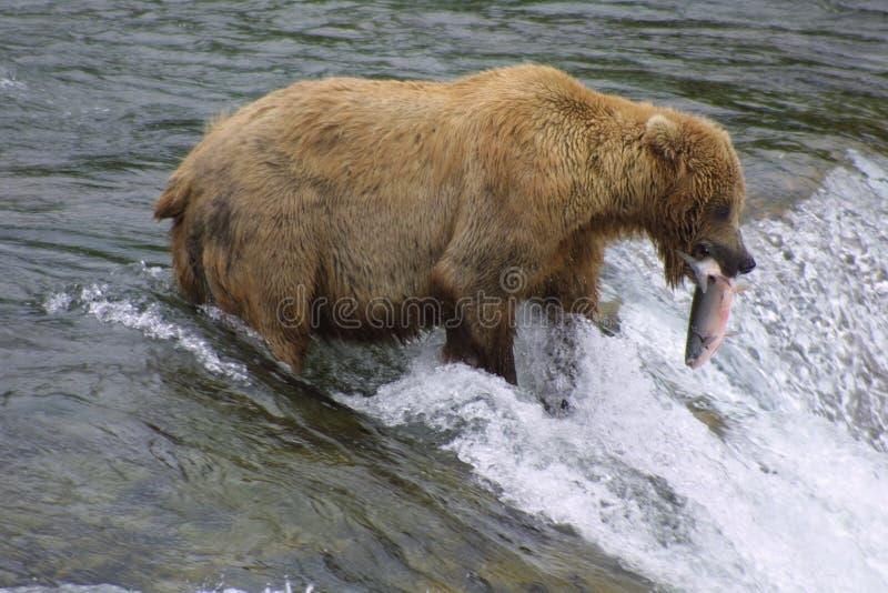 brun lax för björn royaltyfria foton