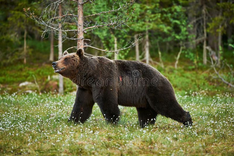 brun manlig för björn royaltyfri foto