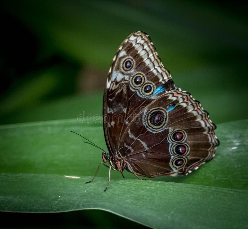Brun Morpho fjäril-Morpho Menclaus arkivbild
