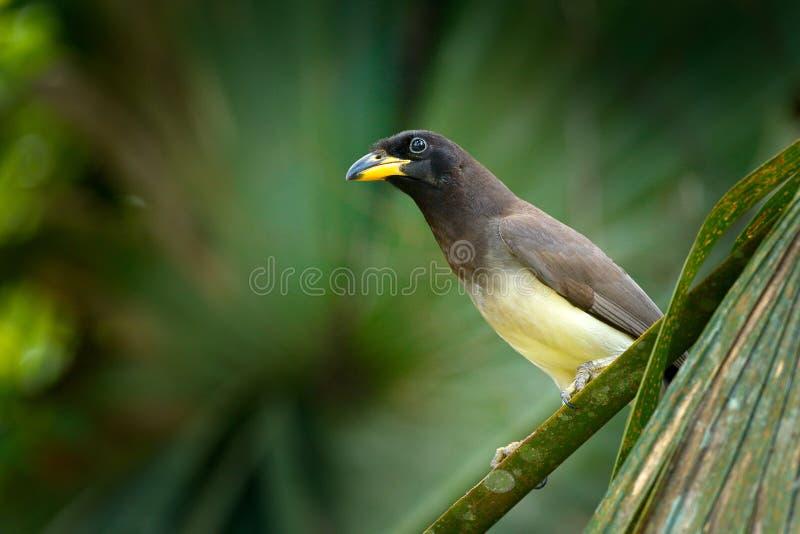 Brun nötskrika, Cyanocorax morio, fågel från den gröna Costa Rica skogen, i trädlivsmiljön Detalj av vändkretsfågeln Fågel i grön royaltyfria foton