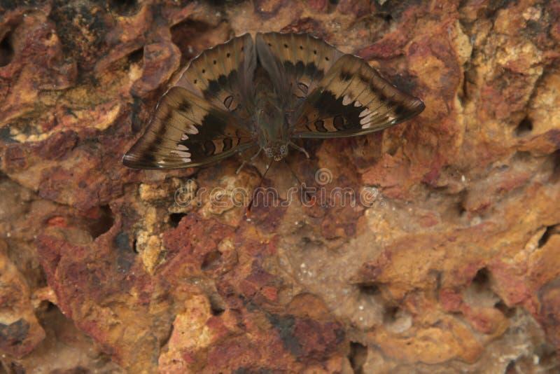 Brun nattfjäril, mal på gammal texturerad antik tegelstenbakgrund härliga modell- och designmalvingar arkivbilder