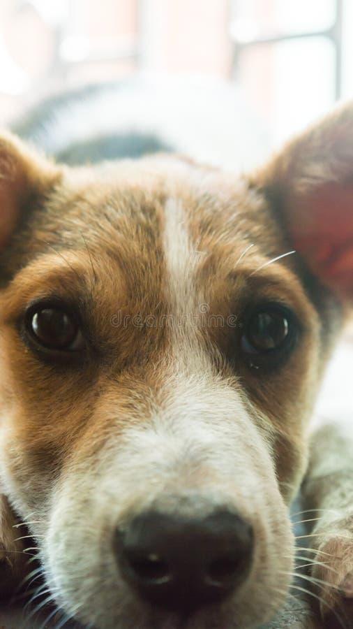 Brun och vit färg, gulligt och litet, Terrier blandade den indiska vänliga inhemska hunden för aveln med ledset stirra för uttryc arkivbilder