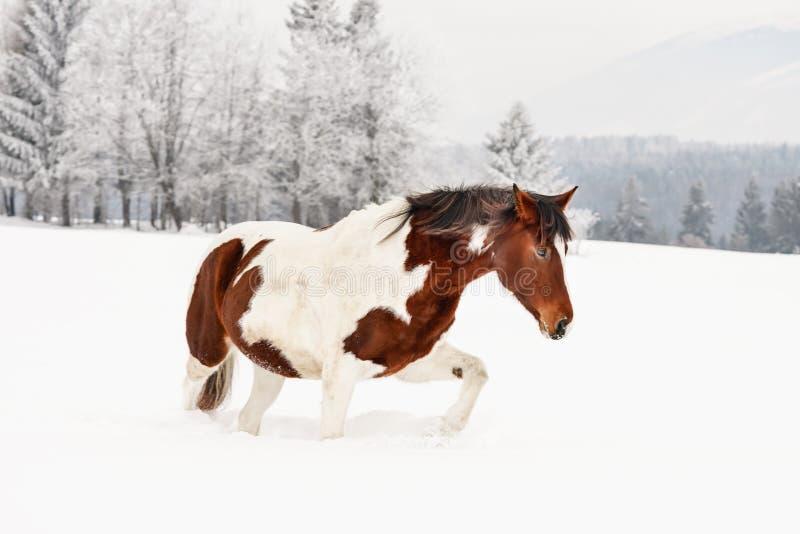 Brun och vit h?st, slovakisk Warmblood avel som g?r p? sn?, suddiga tr?d och berg i bakgrund arkivfoton