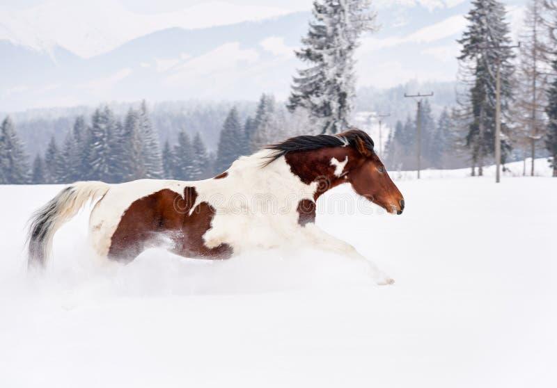 Brun och vit häst som kör i djup snö, träd och bergbakgrund arkivfoto