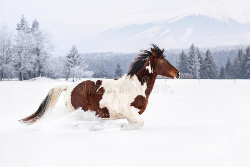 Brun och vit häst som kör på land, träd och berg för djup snö dolt i bakgrund royaltyfri fotografi