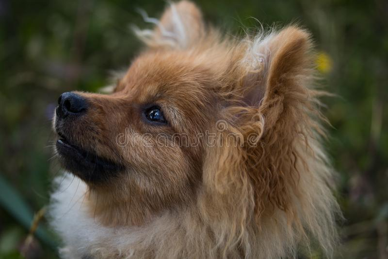 Brun och vit hund som ser kameran royaltyfri foto