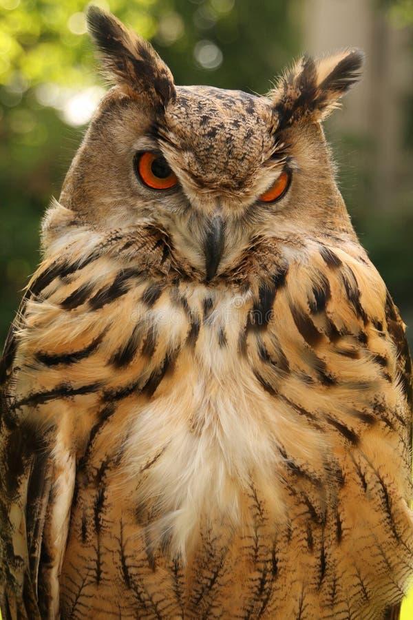 brun owl arkivbild