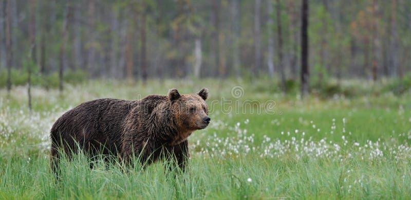 brun panorama för björn arkivbilder