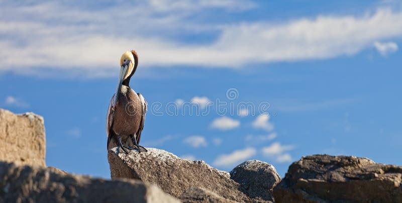 brun pelikan fotografering för bildbyråer