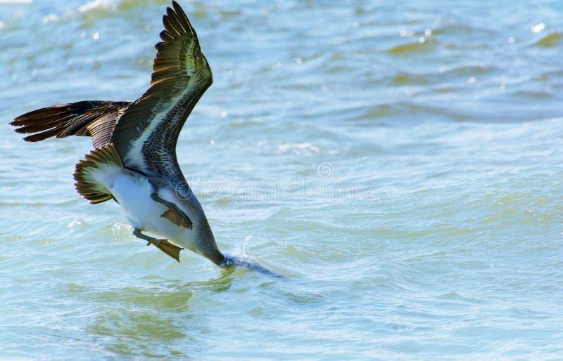 Brun pelikan dykar in i havet arkivfoto