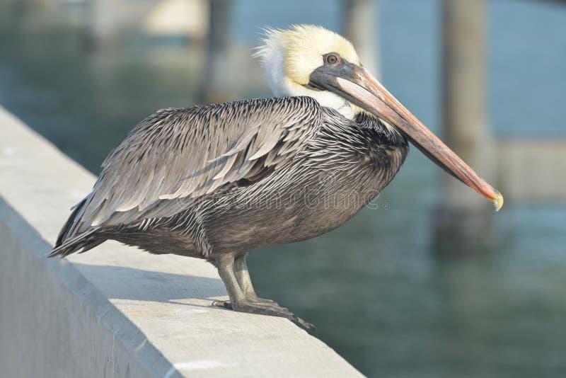 Brun pelikan i de Florida tangenterna royaltyfria bilder