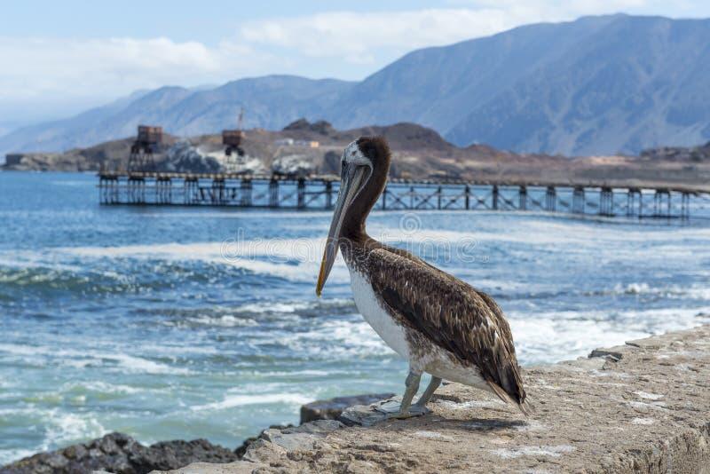 Brun pelikan i den gamla pir av Taltal (Chile) arkivbilder