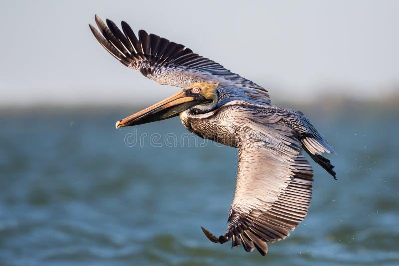 Brun pelikan i flykten, Estero lagun, royaltyfri bild
