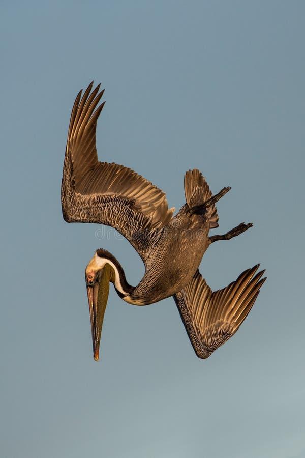 Brun pelikan i flykten, Estero lagun, royaltyfri fotografi