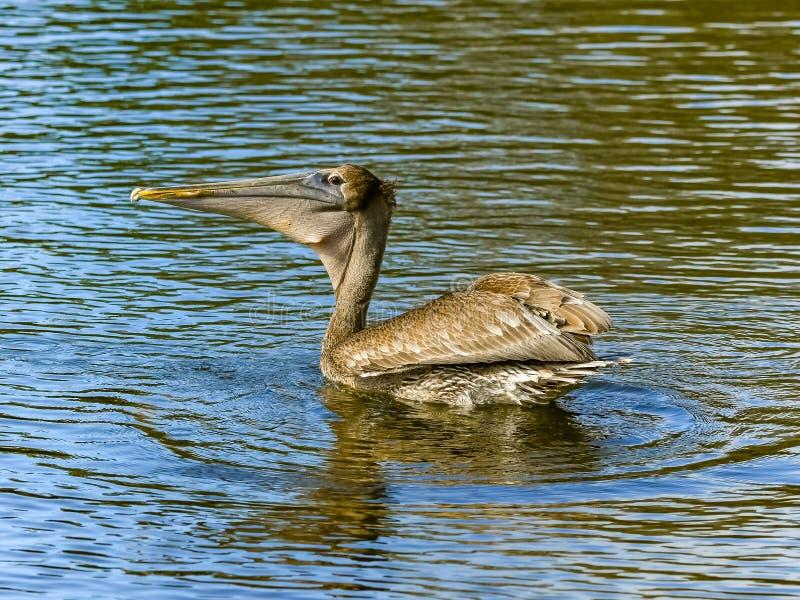 Brun pelikan med en fisk i hans påse arkivfoton