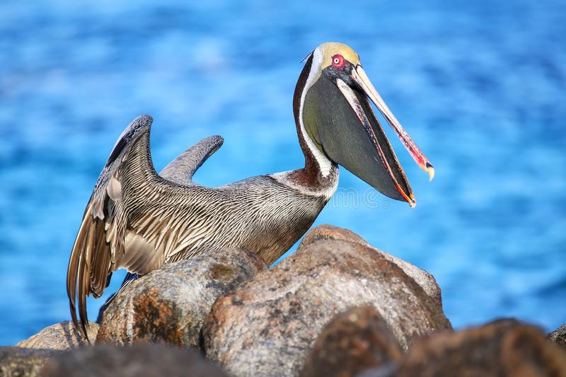 Brun pelikan nationalpark på för den Espanola ön, Galapagos, Ecuador royaltyfri foto