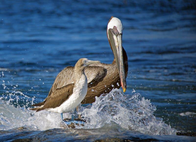 Brun pelikan och blå Footed dumskalle, Galapagos öar royaltyfri fotografi