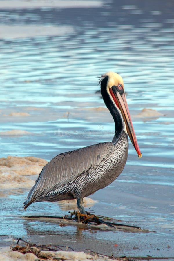 Brun pelikan på den Ventura stranden bredvid Santa Clara River våtmark på Kaliforniens Gold Coast i USA fotografering för bildbyråer