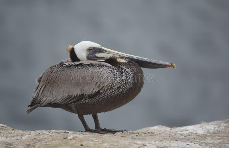 Brun pelikan på La Jolla arkivbilder