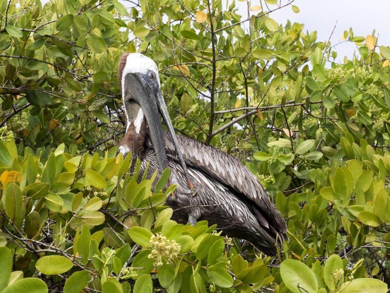 Brun pelikan, Pelecanusoccidentalisurinator som vilar på mangrovevegetation Galapagos, Santa Cruz, Ecuador royaltyfri foto