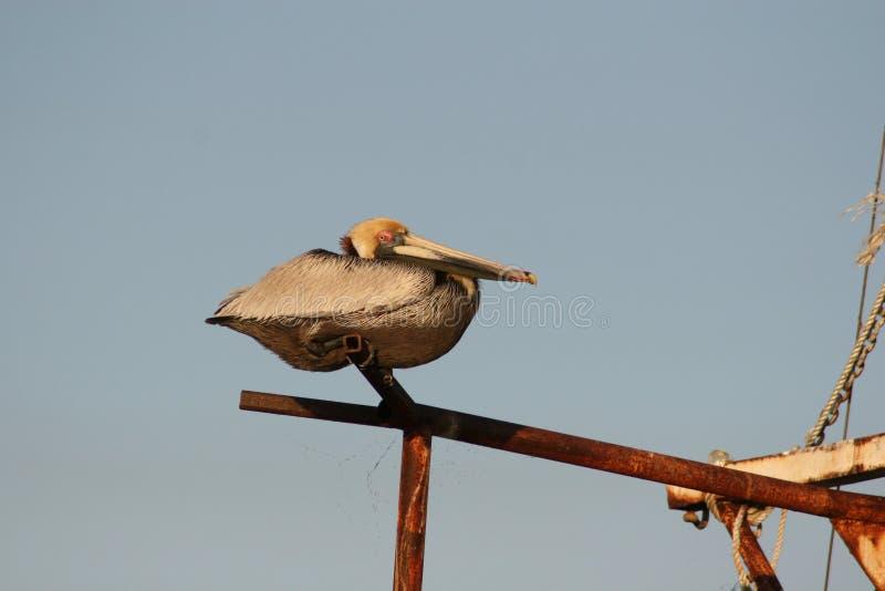 Brun pelikan som netto sätta sig på en fjäril royaltyfri foto