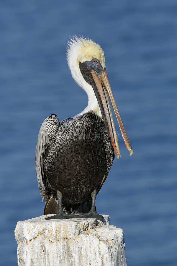Brun pelikan som putsar dess fjädrar på trava för Florida skeppsdocka arkivbilder