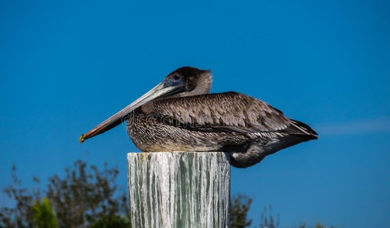 Brun pelikan som sitter på trätrava royaltyfri bild