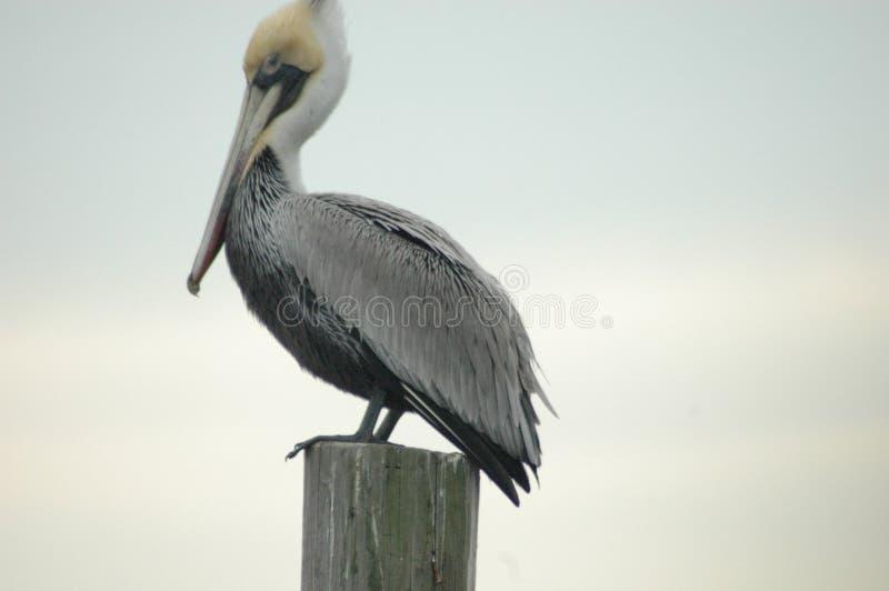 Brun pelikan som vilar i Mississippi arkivbild
