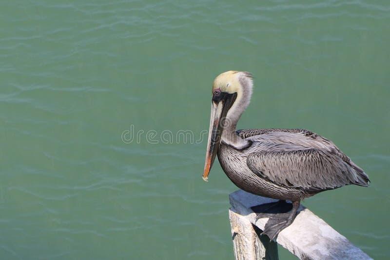 Brun pelikanbaksida från nära förlängning i Florida arkivbilder