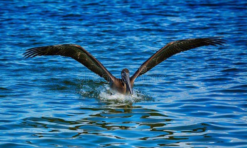 Brun pelikanlandning i Florida royaltyfria foton