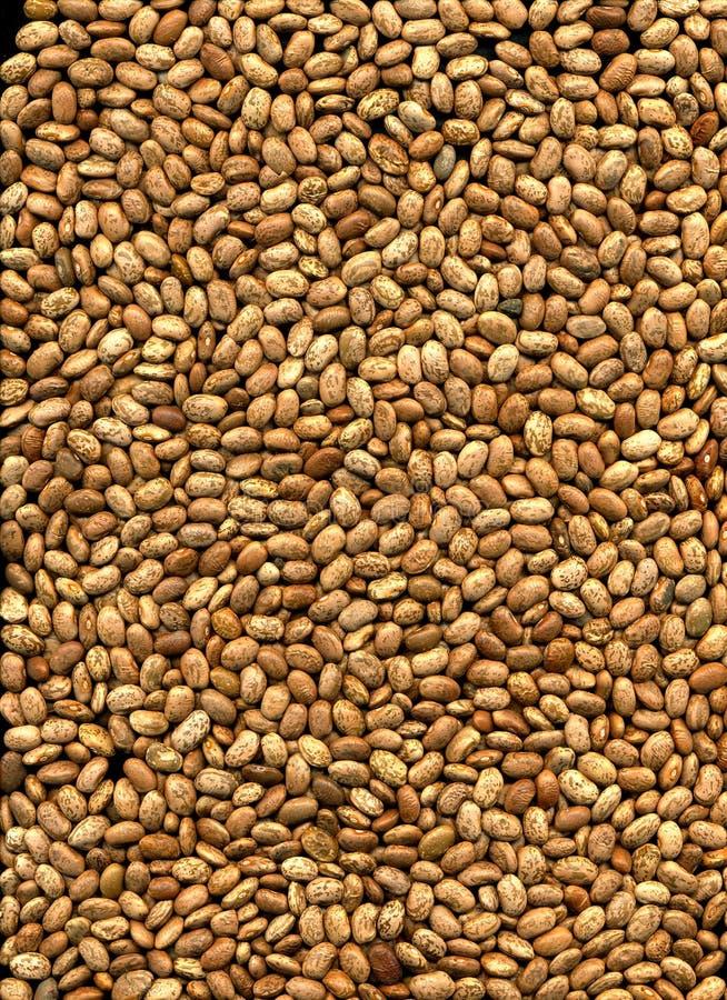 brun pinto för bönor fotografering för bildbyråer