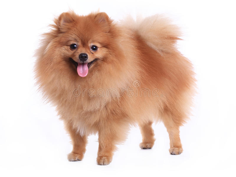 Brun pomeranian hund på vit bakgrund royaltyfria bilder