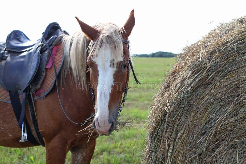Brun prickig häst som äter hö som står bredvid en bunt fotografering för bildbyråer
