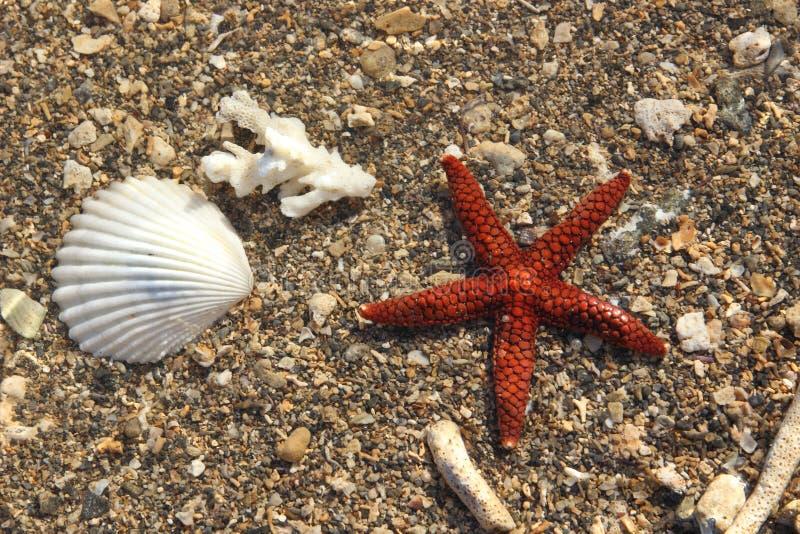 Brun röd sjöstjärna i grunt vatten arkivbild