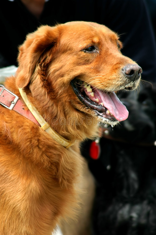 Brun Retriever Arkivfoto